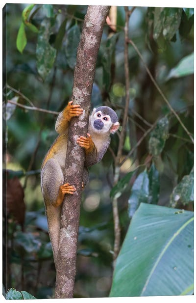Brazil, Amazon, Manaus, Common Squirrel monkey in the trees. Canvas Art Print