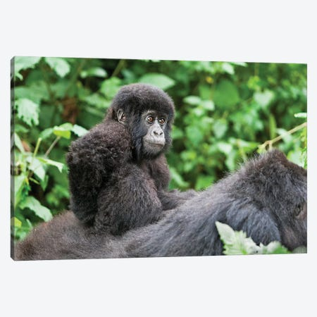 Young Baby Mountain Gorilla Riding On Its Mother's Back, Africa, Rwanda, Volcanoes National Park. Canvas Print #EGO40} by Ellen Goff Art Print