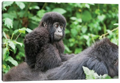 Young Baby Mountain Gorilla Riding On Its Mother's Back, Africa, Rwanda, Volcanoes National Park. Canvas Art Print