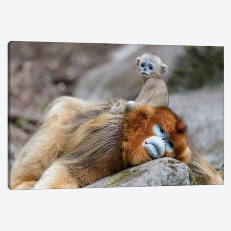 Newborn Golden Snub-Nosed Monkey Sitting On Its Father's Back, Foping National Nature Reserve, Shaanxi Province, China Canvas Print #EGO41} by Ellen Goff Canvas Art Print