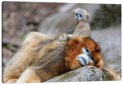 Newborn Golden Snub-Nosed Monkey Sitting On Its Father's Back, Foping National Nature Reserve, Shaanxi Province, China Canvas Art Print