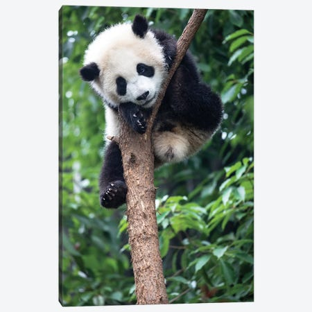 Young Giant Panda Resting Comfortably In A Tree. China, Sichuan Province, Chengdu, Canvas Print #EGO42} by Ellen Goff Canvas Art Print