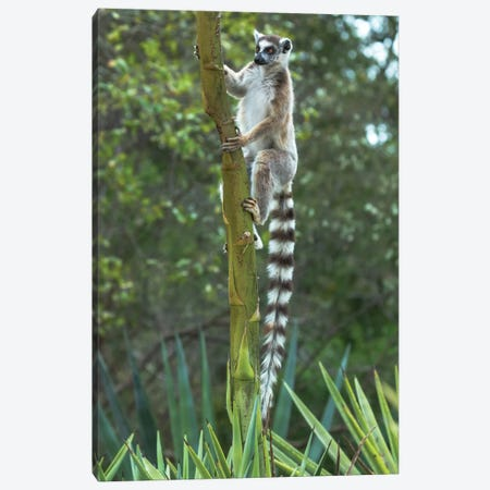 Madagascar, Amboasary, Berenty Reserve. Ring-tailed lemur clinging to a stalk of an agave plant. Canvas Print #EGO43} by Ellen Goff Canvas Print