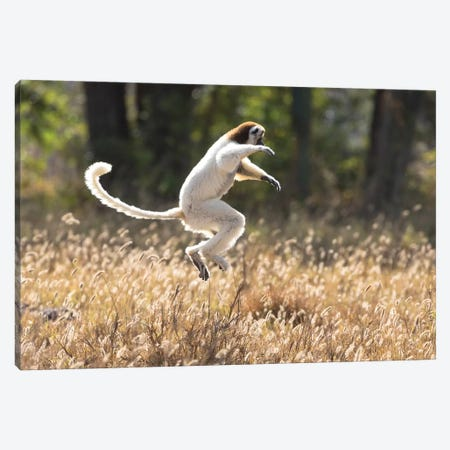 Madagascar, Berenty Reserve. A Verreaux's sifaka dancing from place to place Canvas Print #EGO44} by Ellen Goff Canvas Wall Art