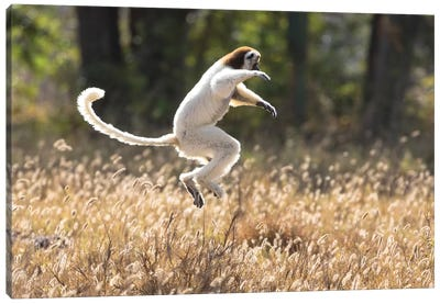 Madagascar, Berenty Reserve. A Verreaux's sifaka dancing from place to place Canvas Art Print