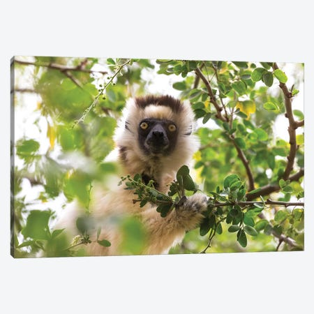 Madagascar, Berenty Reserve. Portrait of a Verreaux's sifaka eating leaves from a tree. Canvas Print #EGO45} by Ellen Goff Canvas Artwork