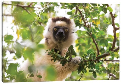 Madagascar, Berenty Reserve. Portrait of a Verreaux's sifaka eating leaves from a tree. Canvas Art Print