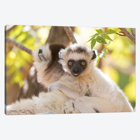 Madagascar, Berenty Reserve. Portrait of a Verreaux's sifaka mother carrying her baby. Canvas Print #EGO46} by Ellen Goff Canvas Wall Art
