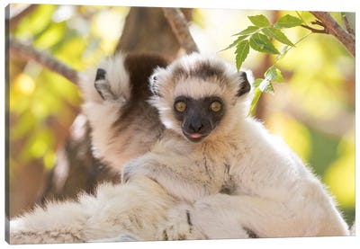 Madagascar, Berenty Reserve. Portrait of a Verreaux's sifaka mother carrying her baby. Canvas Art Print