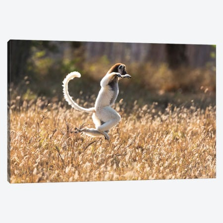 Madagascar, Berenty Reserve. Verreaux's sifaka dancing from place to place where there are no trees Canvas Print #EGO47} by Ellen Goff Canvas Wall Art