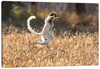Madagascar, Berenty Reserve. Verreaux's sifaka dancing from place to place where there are no trees Canvas Art Print