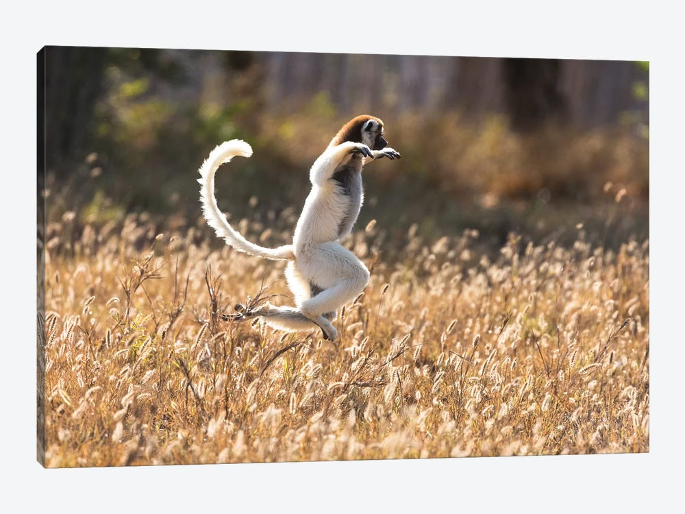Madagascar, Berenty Reserve. Verreaux's sifaka dancing from place to place where there are no trees by Ellen Goff 1-piece Art Print