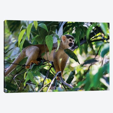 Brazil, Amazon, Manaus. Common Squirrel monkey in the trees. Canvas Print #EGO4} by Ellen Goff Canvas Artwork