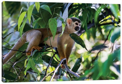 Brazil, Amazon, Manaus. Common Squirrel monkey in the trees. Canvas Art Print