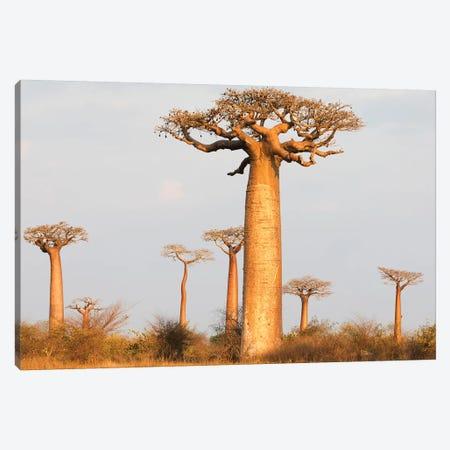 Madagascar, Morondava, Baobab Alley. Baobab trees in morning light Canvas Print #EGO50} by Ellen Goff Canvas Artwork