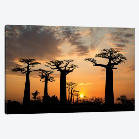 Madagascar, Morondava, Baobab Alley. Grendidier's baobab (Adansonia grandidieri) at sunset. Canvas Print #EGO51} by Ellen Goff Canvas Art