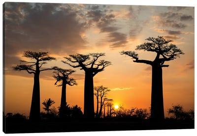 Madagascar, Morondava, Baobab Alley. Grendidier's baobab (Adansonia grandidieri) at sunset. Canvas Art Print