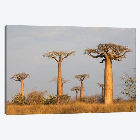 Madagascar, Morondava, Baobab Alley. Grendidier's baobab in the early morning light Canvas Print #EGO52} by Ellen Goff Canvas Art