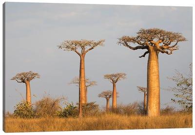 Madagascar, Morondava, Baobab Alley. Grendidier's baobab in the early morning light Canvas Art Print