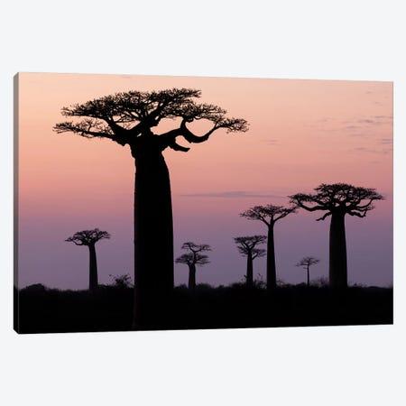 Madagascar, Morondava, 'Baobab Alley'. The Grandidier's baobab are silhouetted Canvas Print #EGO53} by Ellen Goff Canvas Wall Art
