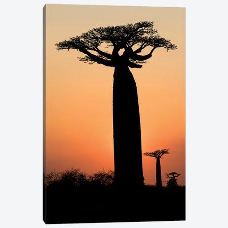 Madagascar, Morondava, 'Baobab Alley'. The Grandidier's baobab are silhouetted Canvas Print #EGO54} by Ellen Goff Canvas Print