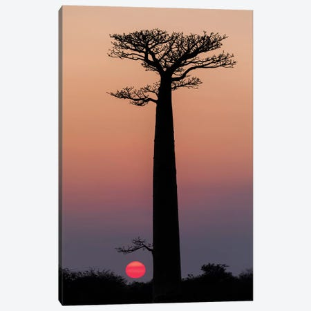 Madagascar, Morondava. Baobab trees are silhouetted against the morning sky. Canvas Print #EGO55} by Ellen Goff Art Print