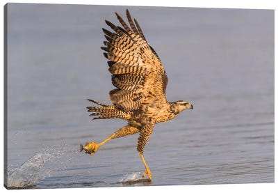 Brazil, The Pantanal, Rio Claro. Immature great black hawk flying in to snag a fish. Canvas Art Print