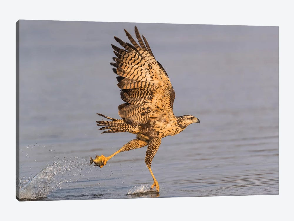 Brazil, The Pantanal, Rio Claro. Immature great black hawk flying in to snag a fish. by Ellen Goff 1-piece Canvas Art