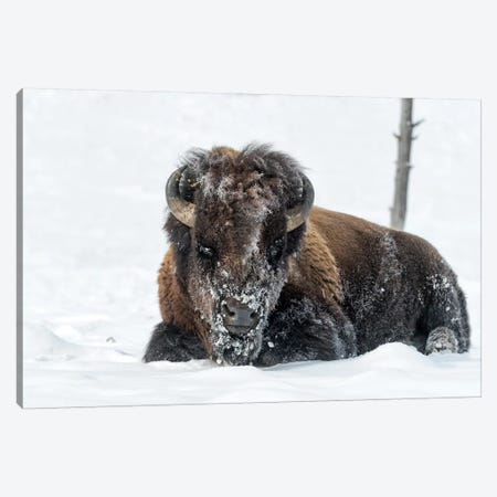 USA, Wyoming, Yellowstone National Park. A bison bull is covered in snow after foraging for grass. Canvas Print #EGO62} by Ellen Goff Canvas Print