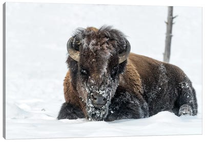 USA, Wyoming, Yellowstone National Park. A bison bull is covered in snow after foraging for grass. Canvas Art Print