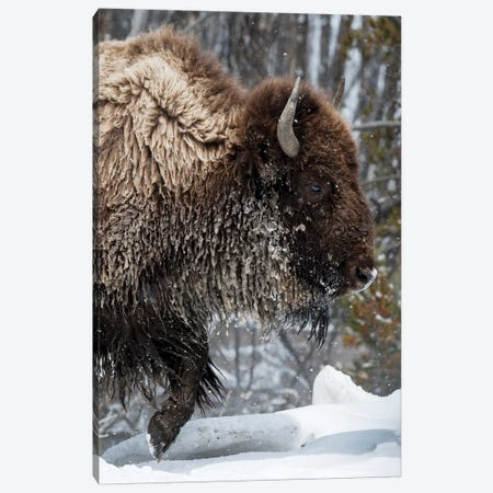 USA, Wyoming, Yellowstone National Park. American bison (Bos bison) struggles through the snow. Canvas Print #EGO64} by Ellen Goff Canvas Art