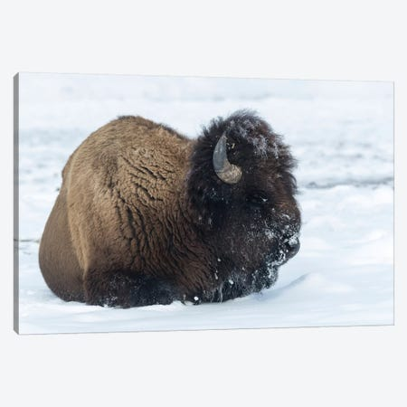 Usa, Wyoming, Yellowstone National Park. Bison bull covered in snow after foraging for grass. Canvas Print #EGO65} by Ellen Goff Canvas Wall Art