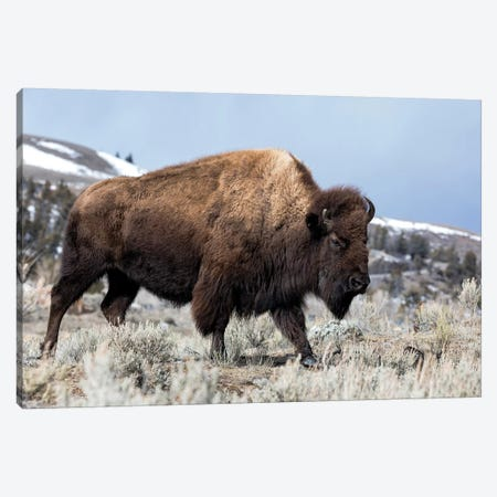 Usa, Wyoming, Yellowstone National Park. Bison walking through the sage and rocky terrain. Canvas Print #EGO66} by Ellen Goff Canvas Artwork