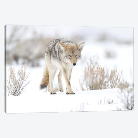 Usa, Wyoming, Yellowstone National Park. Portrait of a coyote in sage and snow. Canvas Print #EGO67} by Ellen Goff Canvas Art