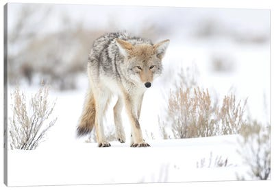 Usa, Wyoming, Yellowstone National Park. Portrait of a coyote in sage and snow. Canvas Art Print