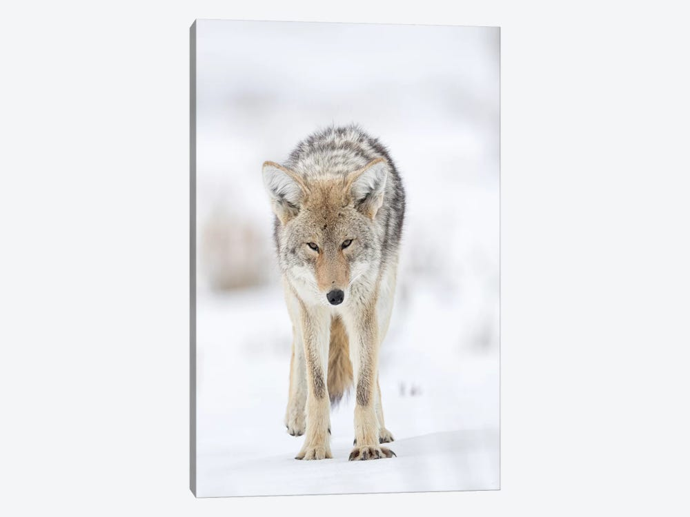 USA, Wyoming, Yellowstone National Park. Portrait of a coyote in the sage and snow. by Ellen Goff 1-piece Canvas Art