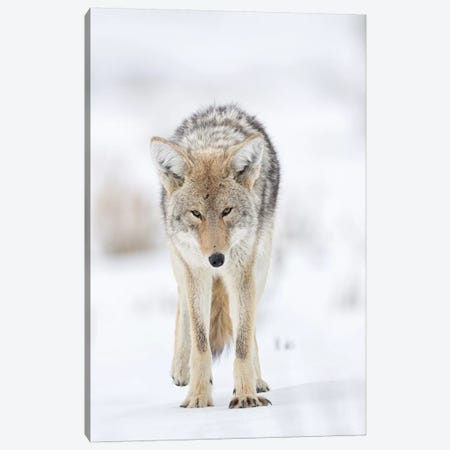 USA, Wyoming, Yellowstone National Park. Portrait of a coyote in the sage and snow. Canvas Print #EGO68} by Ellen Goff Canvas Print