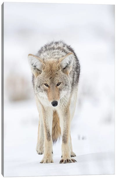 USA, Wyoming, Yellowstone National Park. Portrait of a coyote in the sage and snow. Canvas Art Print