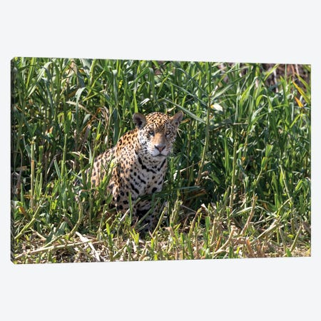 Brazil, The Pantanal, Rio Cuiaba, A female jaguar sits on the river bank watching for prey. Canvas Print #EGO6} by Ellen Goff Canvas Wall Art