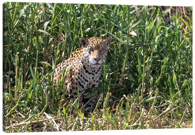 Brazil, The Pantanal, Rio Cuiaba, A female jaguar sits on the river bank watching for prey. Canvas Art Print