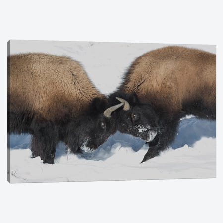 Wyoming, Yellowstone National Park. Two young bison headbutting each other testing their strength. Canvas Print #EGO70} by Ellen Goff Canvas Art