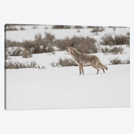 Wyoming, Yellowstone NP, Lamar Valley. A coyote (Canis latrans) howling to ward off a nearby wolf. Canvas Print #EGO71} by Ellen Goff Canvas Art