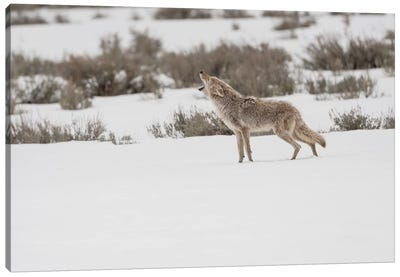 Wyoming, Yellowstone NP, Lamar Valley. A coyote (Canis latrans) howling to ward off a nearby wolf. Canvas Art Print