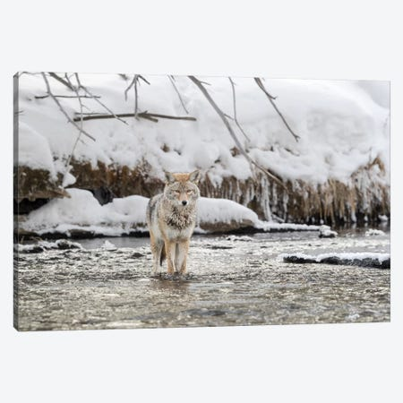Wyoming, Yellowstone NP, Madison River. A coyote standing in the Madison River  Canvas Print #EGO74} by Ellen Goff Canvas Art Print