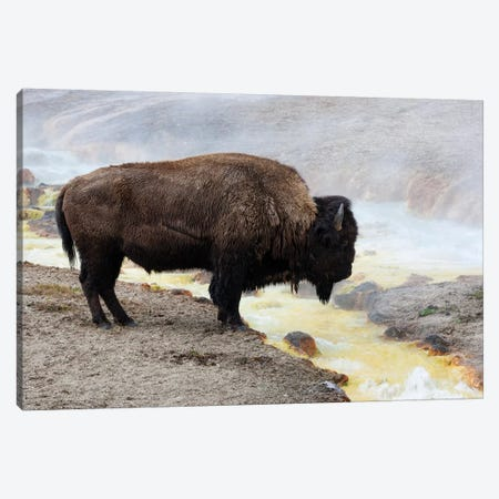 Wyoming, Yellowstone NP, Midway Geyser Basin. American bison standing near the warm water Canvas Print #EGO75} by Ellen Goff Canvas Art Print