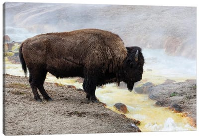 Wyoming, Yellowstone NP, Midway Geyser Basin. American bison standing near the warm water Canvas Art Print