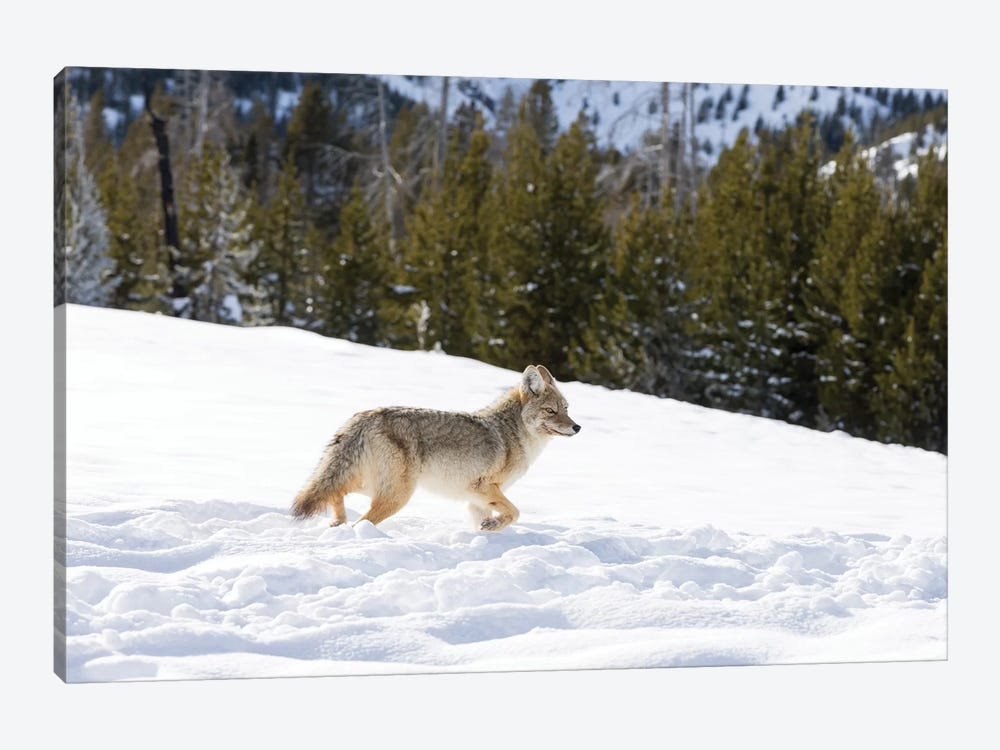 Wyoming, Yellowstone NP. A coyote (Canis latrans) moving through bison footprints in the snow. 1-piece Canvas Wall Art
