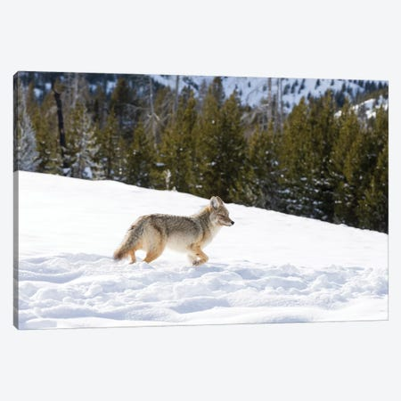 Wyoming, Yellowstone NP. A coyote (Canis latrans) moving through bison footprints in the snow. Canvas Print #EGO77} by Ellen Goff Canvas Print
