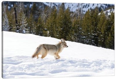 Wyoming, Yellowstone NP. A coyote (Canis latrans) moving through bison footprints in the snow. Canvas Art Print