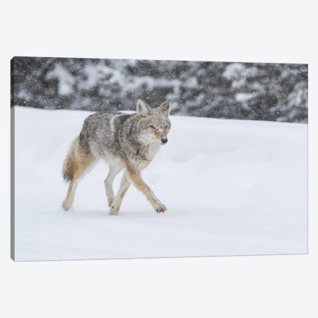 Wyoming, Yellowstone NP. A coyote (Canis latrans) trots along the plowed road in a snowstorm. Canvas Print #EGO78} by Ellen Goff Canvas Artwork